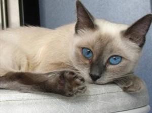 gato tailandes