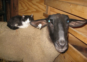cat-above-sheep