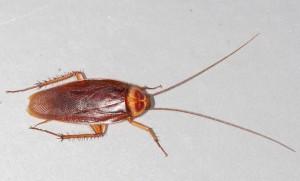 Cucarahca |cockroach