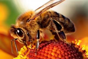 Aveja | Bee