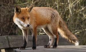 Zorro | Fox