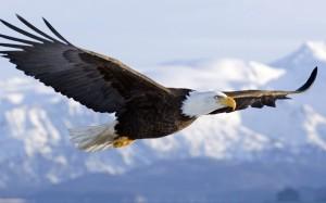 Aguila   Eagle