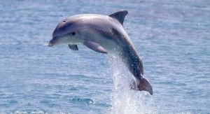 delfin-Dolphin